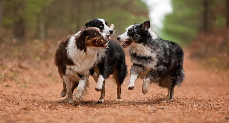 What Are Good Names for an Australian Shepherd?