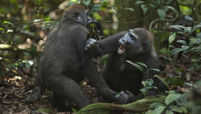 How Do Gorillas Attack?