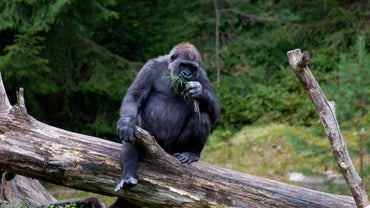 Do Gorillas Eat Meat?