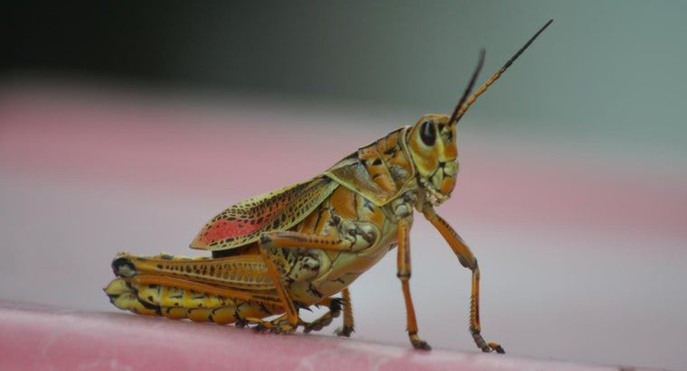 What Do Grasshoppers Eat and Drink?