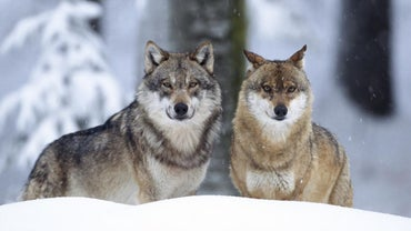 What Is a Gray Wolf's Ecological Niche?