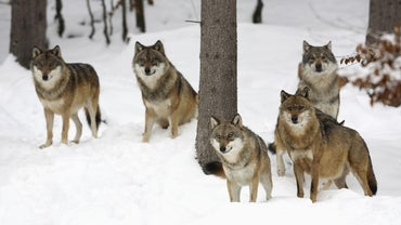 How Do Gray Wolves Hunt?