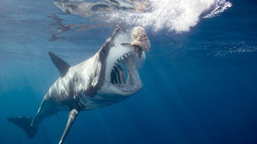 How Does a Great White Shark Protect Itself?