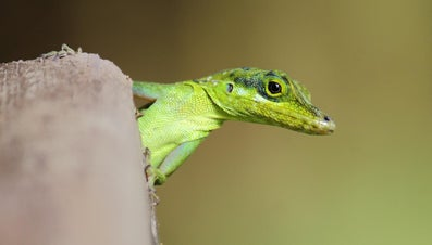 Do Green Anoles Lay Eggs?