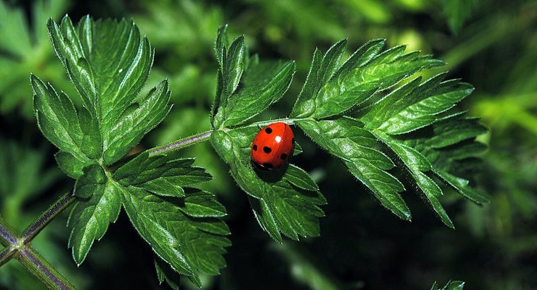 Are There Green Ladybugs?