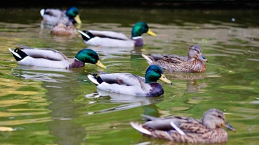 What Is a Group of Ducks Called?