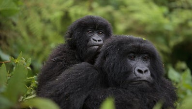 What Is a Group of Gorillas Called?
