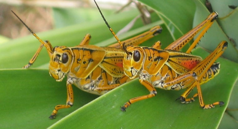 What Is a Group of Grasshoppers Called?