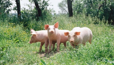 What Is a Group of Pigs Called?