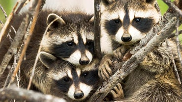 What Is a Group of Raccoons Called?