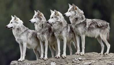 What Is a Group of Wolves Called?