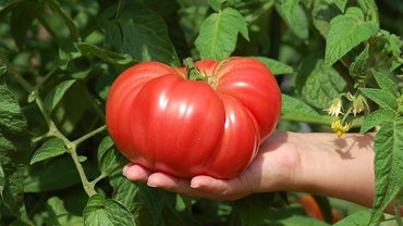 How Do You Grow Big Tomatoes?