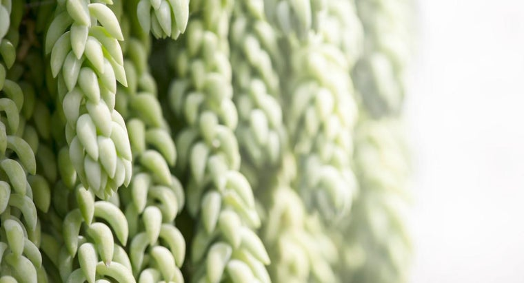 How Do You Grow a Donkey Tail Plant?
