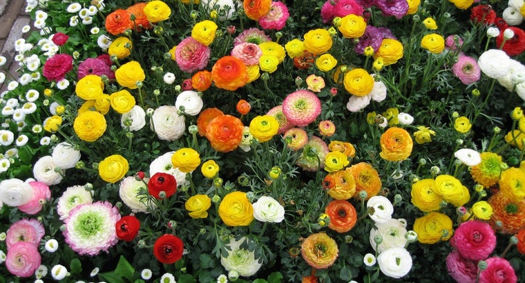How Do You Grow Ranunculus?
