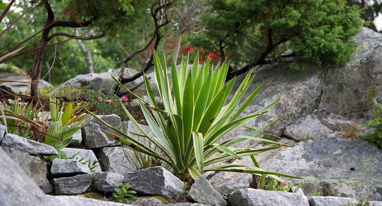 How Do You Grow a Yucca Plant?