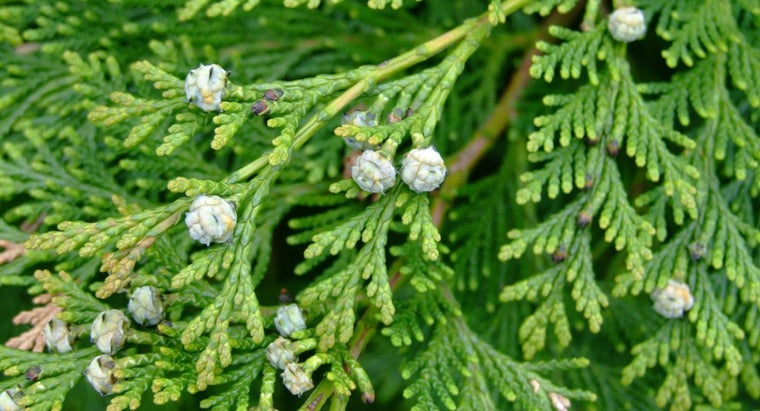 What Is the Growth Rate of a Leyland Cypress?