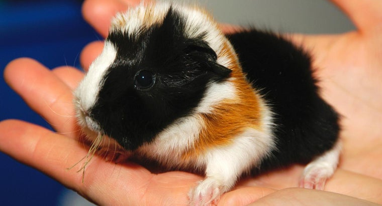 How Do I Know When My Guinea Pig Will Give Birth?
