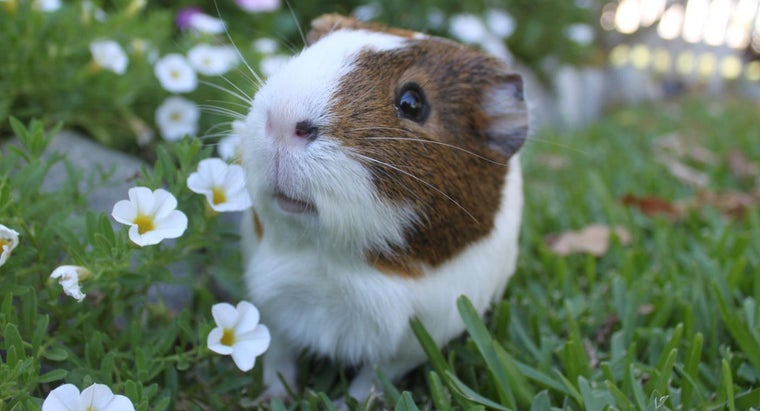 Do Guinea Pigs Blink?