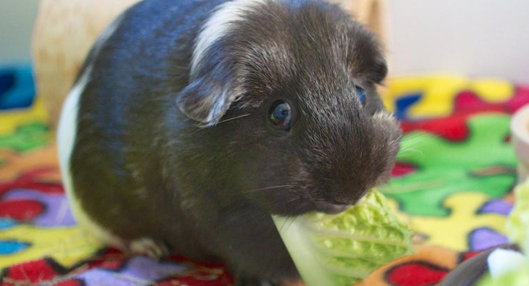 Why Do Guinea Pigs Squeak?