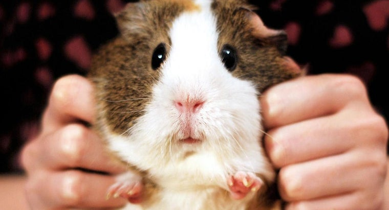 Do Guinea Pigs Have Tails?