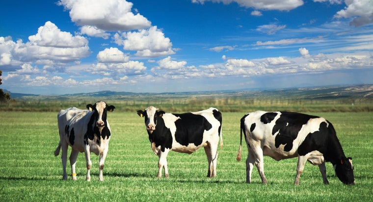 What Is the Habitat of a Cow?