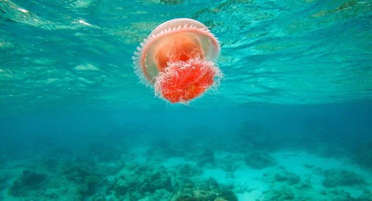 What Is the Habitat of the Jellyfish?