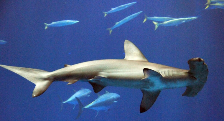 Where Do Hammerhead Sharks Live?