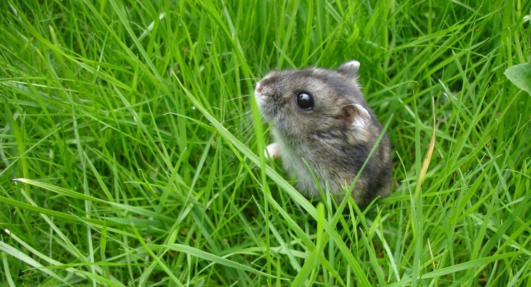 Where Do Hamsters Come From?