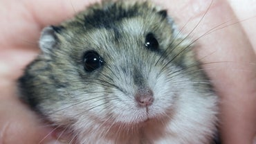 Do Hamsters Cry?