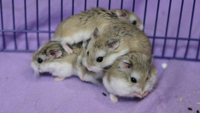 Why Do Hamsters Fight Each Other?