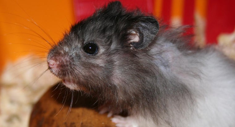 Why Do Hamsters Squeak?