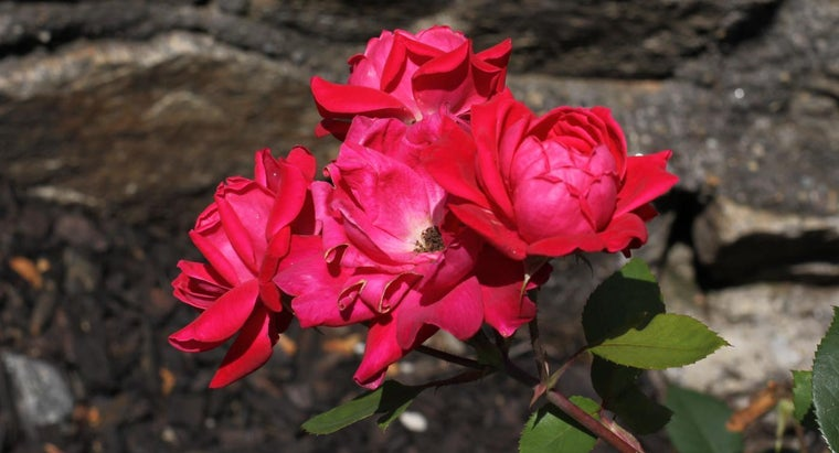 What Happens If You Don't Prune Knockout Roses?