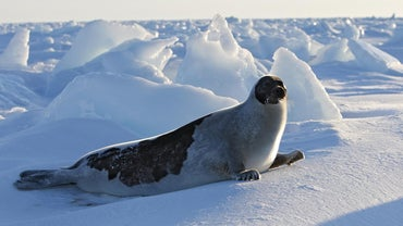 What Is a Harp Seal's Niche?