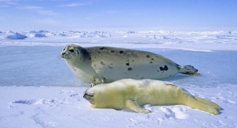 Where Do Harp Seals Live?