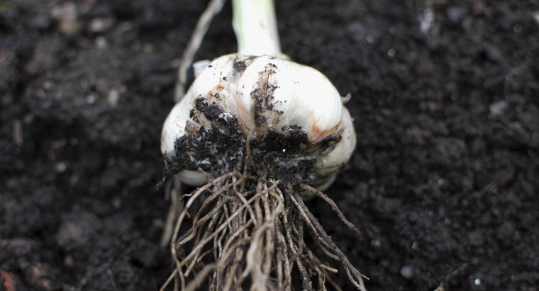 When Do You Harvest Garlic?