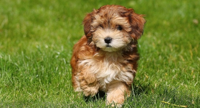 What Is A Havanese Puppy Cut Referencecom