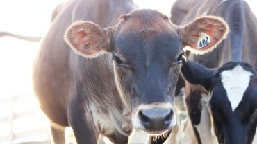 What Is a Heifer?