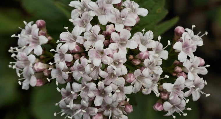 What Is a Heliotrope Flower?