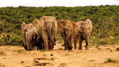 What Is a Herd of Elephants Called?