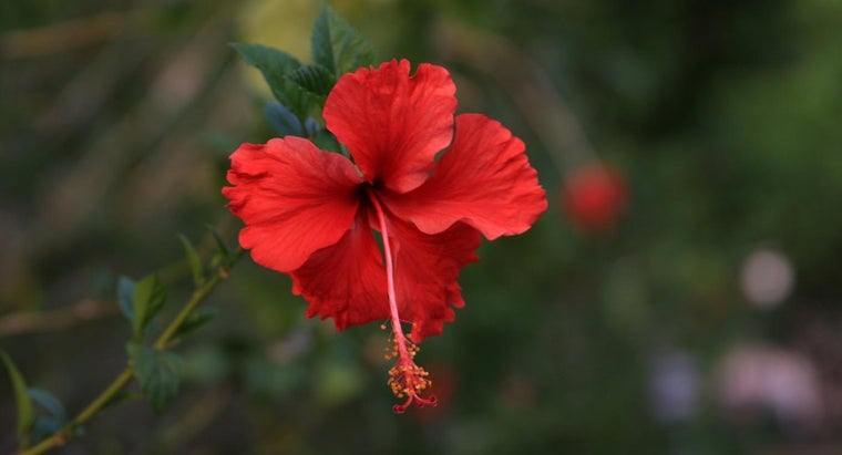 Are Hibiscus Plants Poisonous to Children?