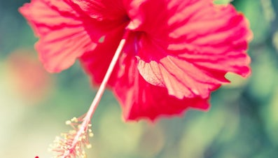 Is Hibiscus Poisonous?