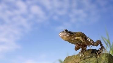 How High Can a Frog Jump?