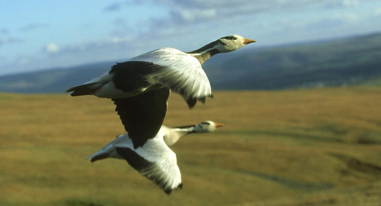 What Is the Highest Flying Bird?