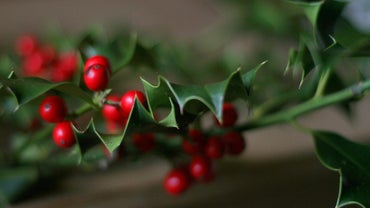Are Holly Leaves Poisonous?