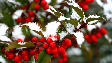 What Does Holly Represent?