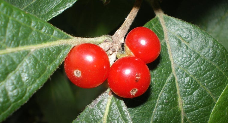 Are Honeysuckle Berries Poisonous to Humans?
