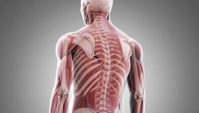 How Are Muscles Attached to Bone?