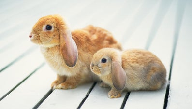 How Big Do Mini Lop Rabbits Grow?