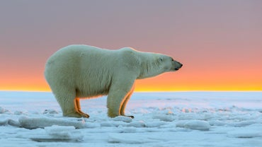 How Big Do Polar Bears Get?