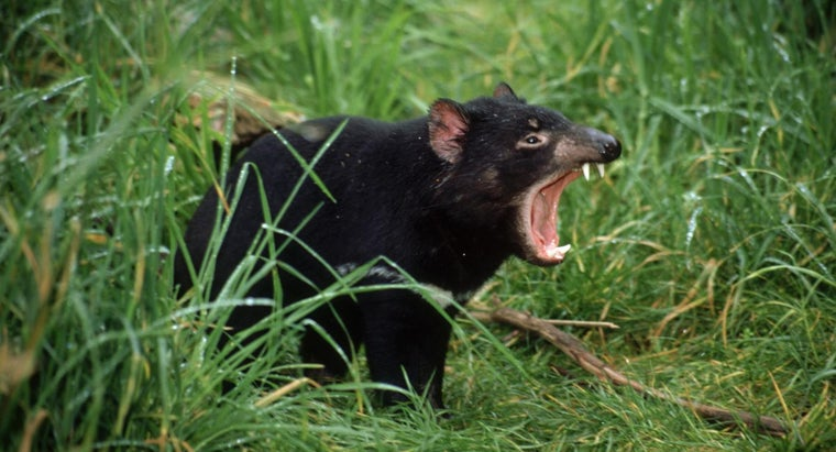 How Did Tasmanian Devils Become Endangered?